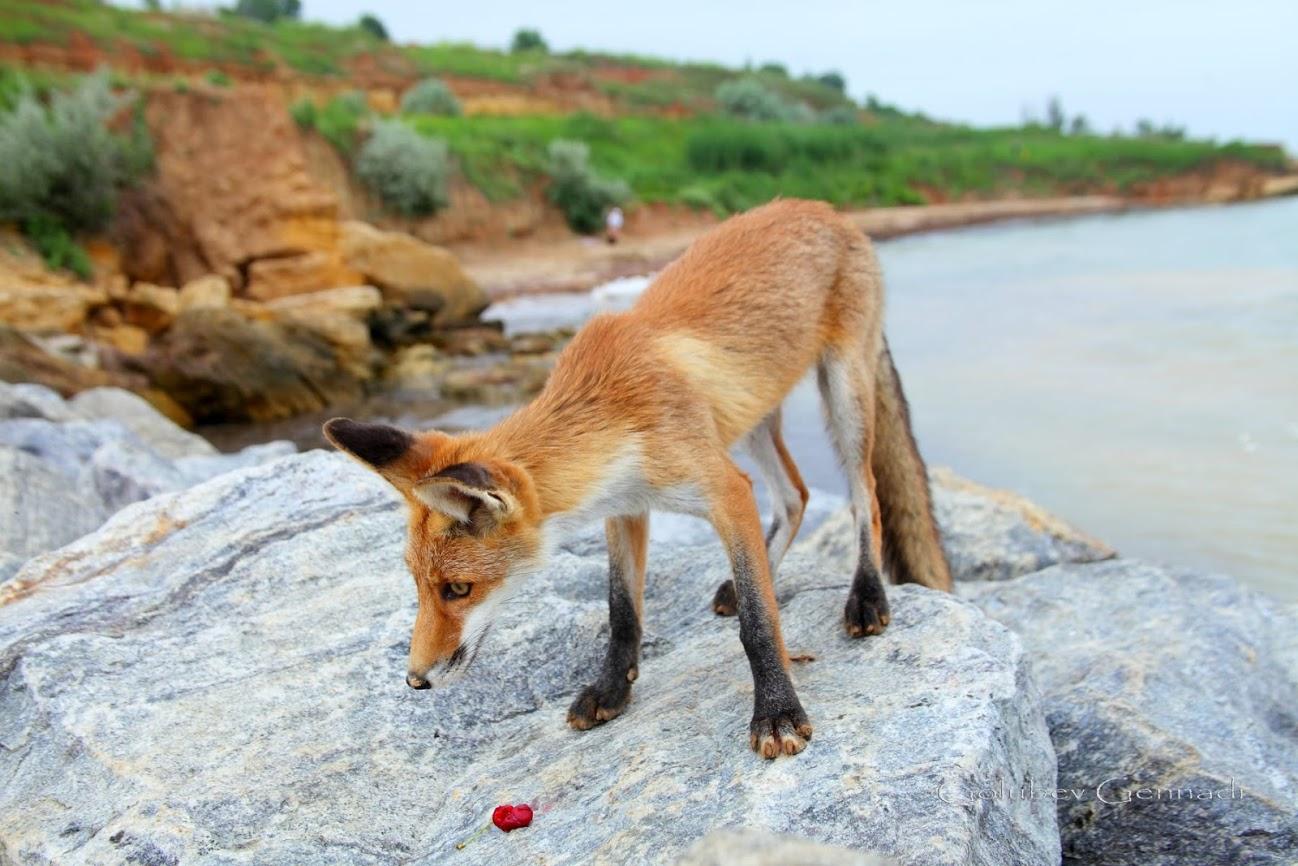 Совсем ручные: на пляже под Одессой поселились лисы. Фото Геннадия Голубева