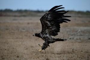 После каторги на Примоском бульваре: редкого орла выпустили на волю фото