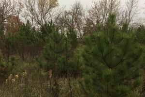 В Одесской области начали продавать новогодние елки: какие цены фото 1