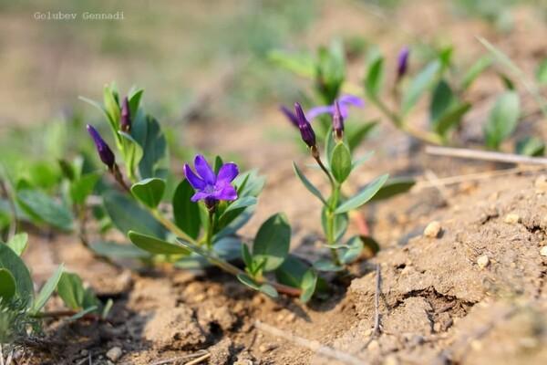 Тепло, как весной: на побережье Куяльника распустились цветы фото 5