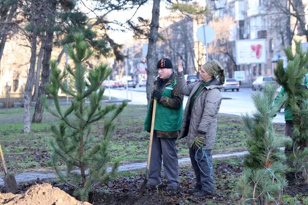 Подарок к Рождеству: на проспекте Гагарина коммунальщики высадили десятки сосен  фото