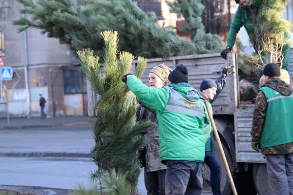 Подарок к Рождеству: на проспекте Гагарина коммунальщики высадили десятки сосен  фото 1