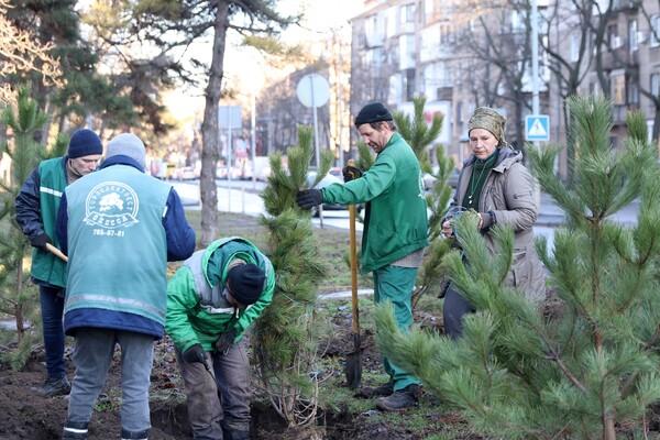 Подарок к Рождеству: на проспекте Гагарина коммунальщики высадили десятки сосен  фото 2