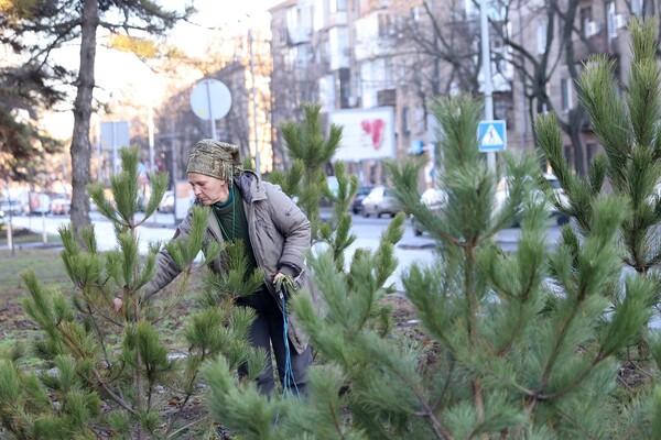 Подарок к Рождеству: на проспекте Гагарина коммунальщики высадили десятки сосен  фото 3