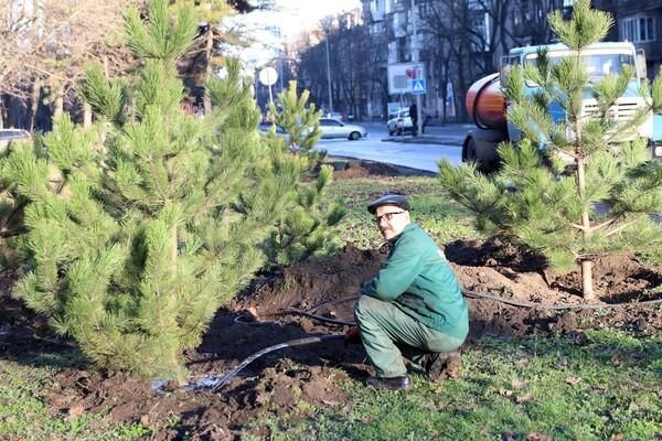 Подарок к Рождеству: на проспекте Гагарина коммунальщики высадили десятки сосен  фото 4