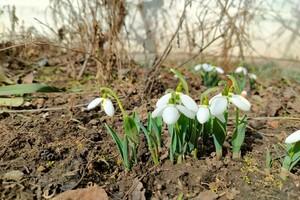 Последний день зимы: в Одессе расцвели подснежники  фото 2