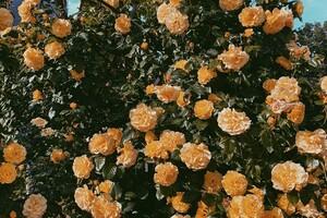 Успей посмотреть: в Одесском ботаническом саду продолжают цвести розы фото