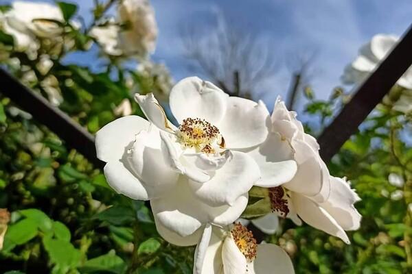 Успей посмотреть: в Одесском ботаническом саду продолжают цвести розы фото 1