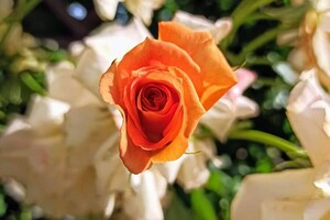 Успей посмотреть: в Одесском ботаническом саду продолжают цвести розы фото 2